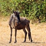 Eenzame het meest wildebeest is in de savanne Stock Afbeeldingen