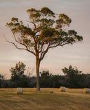 Eenzame hoge boom en hooibergen in Australië Royalty-vrije Stock Fotografie