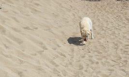 Eenzame hond in het midden van het zand in zonnige dag Sandy Bay, Meer Baikal Royalty-vrije Stock Foto's