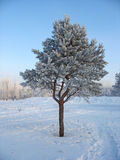 Eenzame ijzige pijnboom-boom Royalty-vrije Stock Foto's
