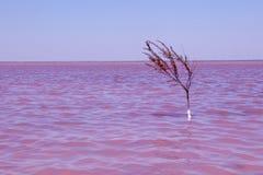 Eenzame installatie in roze meer Royalty-vrije Stock Afbeelding