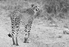 Eenzame jachtluipaard die over een weg bij schemer lopen die prooi zoeken Royalty-vrije Stock Afbeeldingen
