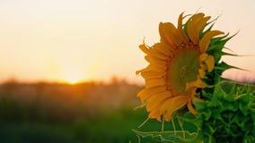 Eenzame jonge zonnebloem die in de wind op het gebied tegen de zonsondergang slingeren Zonnebloemhoed bij dageraad, close-up stock footage