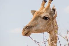 Eenzame kauwende giraf Stock Fotografie