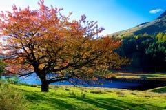 Eenzame kleurrijke boom in autumkleuren bij piek distric royalty-vrije stock afbeelding