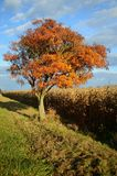 Eenzame kleurrijke boom tussen de weg en cornfield Stock Afbeeldingen