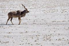 Eenzame kudu Royalty-vrije Stock Afbeelding