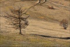 Eenzame lariks stock afbeeldingen