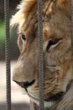 Eenzame leeuw in dierentuinkooi Royalty-vrije Stock Foto