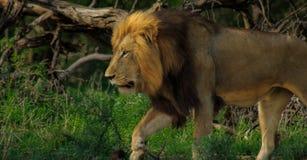 Eenzame Leeuw op patrouille royalty-vrije stock afbeelding