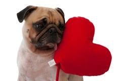 Eenzame leuke die Pug met hart op witte achtergrond wordt geïsoleerd Stock Foto's