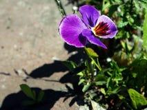 Eenzame lilac bloem van pansies stock fotografie