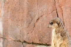 Eenzame linkerzijde die meerkat staren royalty-vrije stock afbeeldingen