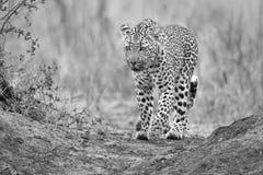 Eenzame luipaard die en in aard artistieke omzetting lopen jagen Stock Foto