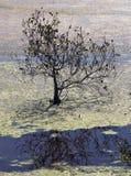 Eenzame Mangrove Stock Foto's