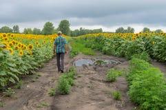 Eenzame mens die op een vuile weg tussen bloeiende zonnebloemengebieden lopen in de Oekraïne royalty-vrije stock afbeelding