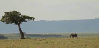 Eenzame olifant, eenzame boom Royalty-vrije Stock Foto