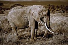 Eenzame olifant met grote slagtanden Stock Afbeeldingen