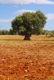 Eenzame olijfboom Royalty-vrije Stock Afbeelding
