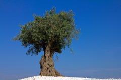 Eenzame olijfboom Royalty-vrije Stock Foto's