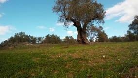 Eenzame olijfboom tegen de blauwe hemel in Januari stock video