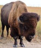 Eenzame omhoog dichte bizon Stock Afbeeldingen