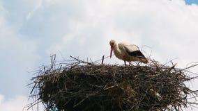 Eenzame Ooievaar die in het Nest eten stock videobeelden