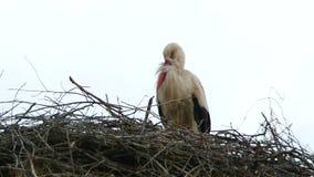 Eenzame Ooievaar die zich in het Nest bevinden stock footage