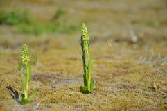 Eenzame orchideeën Stock Afbeelding