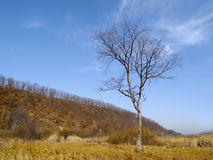 Eenzame oude iep in de herfst Stock Afbeeldingen