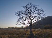 Eenzame oude iep in de herfst Stock Foto