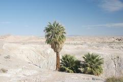 Eenzame Palmen in woestijn Stock Afbeeldingen