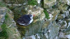 Eenzame Papegaaiduiker die op krijtrotsen, Oost-Yorkshire, het UK rusten stock footage