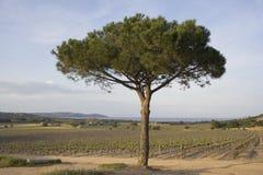 Eenzame paraplupijnboom in een wijngaard Stock Foto's