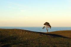 Eenzame Pijnboom Stock Foto