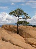 Eenzame pijnboom Royalty-vrije Stock Fotografie