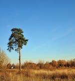 Eenzame pijnboom. stock fotografie