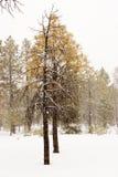 Eenzame pijnboom royalty-vrije stock foto
