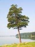 Eenzame pijnboom Royalty-vrije Stock Afbeelding