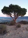 Eenzame pijnboom Stock Fotografie