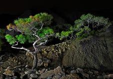 Eenzame pijnboom bij nacht Royalty-vrije Stock Fotografie