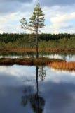 Eenzame pijnboom in het midden van een moeras royalty-vrije stock afbeeldingen