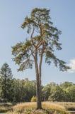 Eenzame pijnboom op de bosrand Royalty-vrije Stock Afbeeldingen