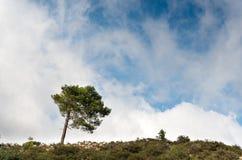 Eenzame pijnboomboom bij de helling van een heuvel Royalty-vrije Stock Fotografie