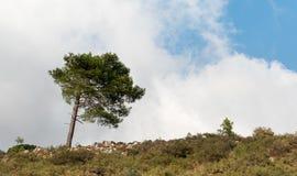 Eenzame pijnboomboom bij de helling van een heuvel Royalty-vrije Stock Afbeeldingen