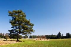 Eenzame pijnboomboom in de lentelandschap Royalty-vrije Stock Foto
