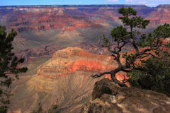 Eenzame pijnboomboom in Grand Canyon Stock Afbeelding