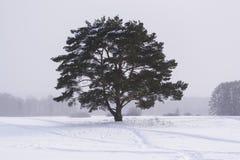 Eenzame pijnboomboom onder een lichte sneeuwval Stock Afbeelding