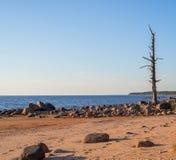 Eenzame pijnboomboom op het strand met stenen - vrede Stock Afbeeldingen