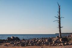 Eenzame pijnboomboom op het strand met stenen - vrede Stock Fotografie